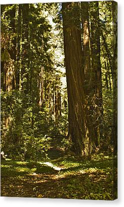 Henry Cowell Redwoods Late Summer Afternoon Canvas Print by Larry Darnell