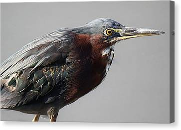 Heron Close Up Canvas Print by Paulette Thomas