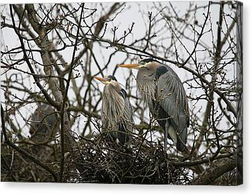 Heron Nest Canvas Print by Naman Imagery