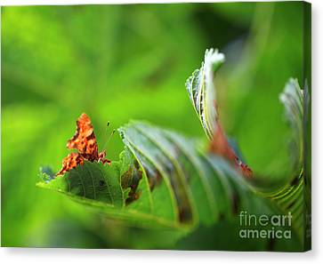 Hiding Comma Butterfly Canvas Print by Clare Scott