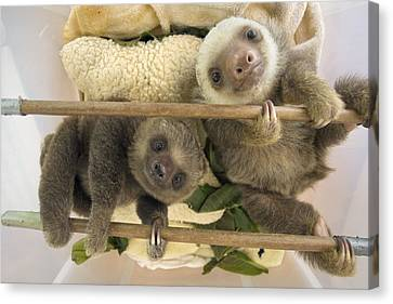 Hoffmanns Two-toed Sloth Orphaned Babies Canvas Print by Suzi Eszterhas