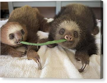Hoffmanns Two-toed Sloth Orphans Eating Canvas Print by Suzi Eszterhas
