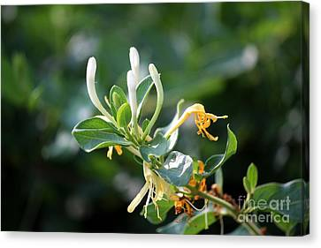 Honeysuckle Canvas Print by Theresa Willingham
