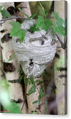 Hornet Nest Canvas Print by Lawrence Lawry