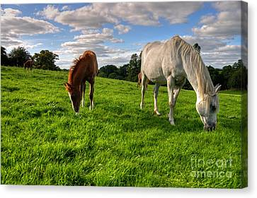 Horses Grazing Canvas Print by Rob Hawkins