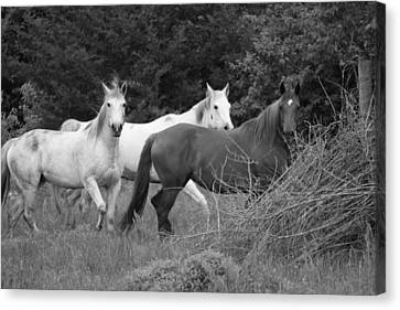 Horses In Black And White Canvas Print by Rick Rauzi