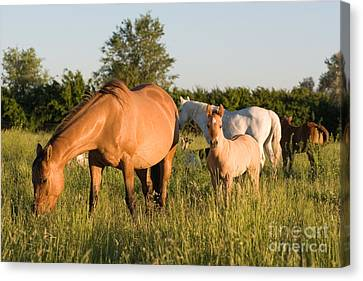 Horses In Green Grassy Pasture Canvas Print by Cindy Singleton