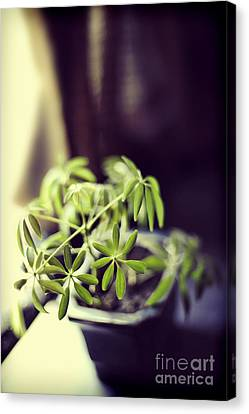 Houseplant Canvas Print by HD Connelly