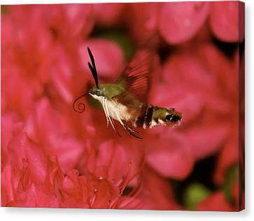 Hovering Clearwing Hummingbird Moth Canvas Print by Lara Ellis