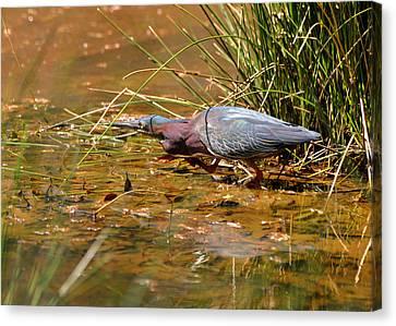 Hunting Green Heron - C9822b Canvas Print by Paul Lyndon Phillips