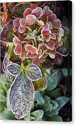 Hydrangea Sp Canvas Print by Dr Keith Wheeler