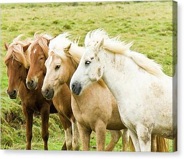 Iceland Ponies Canvas Print by David Blaikie