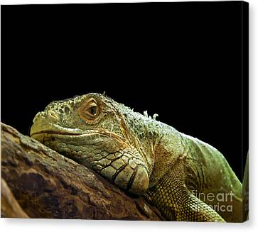 Iguana Canvas Print by Jane Rix
