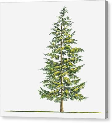 Illustration Of Large Evergreen Tsuga Heterophylla (western Hemlock) Tree Canvas Print by Sue Oldfield
