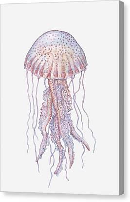 Illustration Of Mauve Stinger Jellyfish (pelagia Noctiluca) Canvas Print by Dorling Kindersley