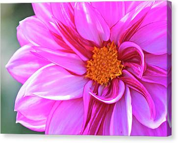 In Love With Pink Canvas Print by Becky Lodes