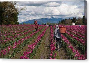 In The Tulip Fields Canvas Print by Mike Reid
