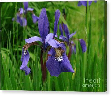 Irises Canvas Print by Randi Shenkman