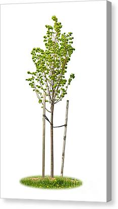 Isolated Young Linden Tree Canvas Print by Elena Elisseeva