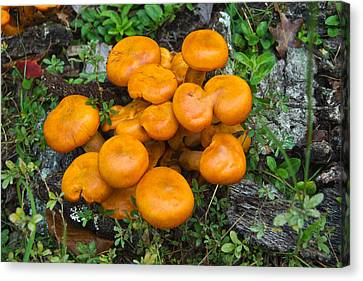Jack Olantern Mushrooms 9 Canvas Print by Douglas Barnett