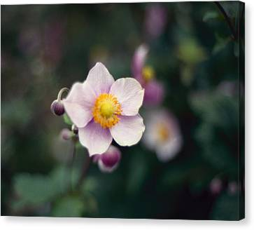 Japanese Anemone  Canvas Print by Marcio Faustino