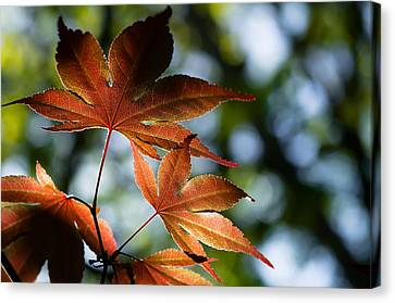 Japanese Maple Leaves Canvas Print by Lori Coleman