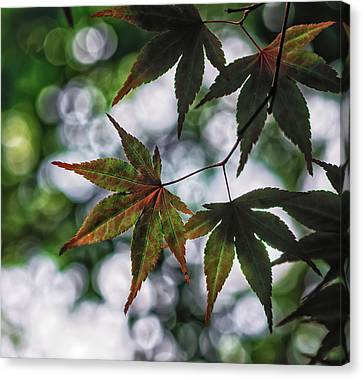 Japanese Maple Canvas Print by Lori Coleman