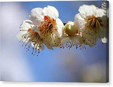 Japanese Plum Flowers Canvas Print by T. Kurachi