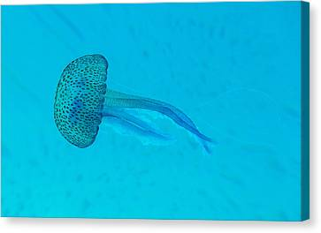 Jellyfish In  Wild Canvas Print by Sir Francis Canker Photography