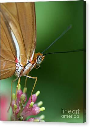 Julia Butterfly Canvas Print by Pamela Gail Torres