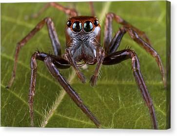 Jumping Spider Papua New Guinea Canvas Print by Piotr Naskrecki