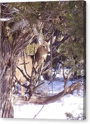 Juniper Deer Canvas Print by FeVa  Fotos