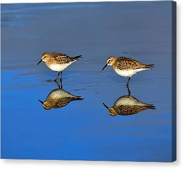 Juvenile White-rumped Sandpipers Canvas Print by Tony Beck