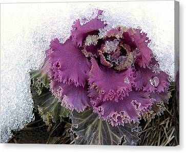 Kale Plant In Snow Canvas Print by Sandi OReilly