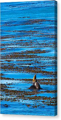 Kelp And Sea Lion Canvas Print by Adam Pender