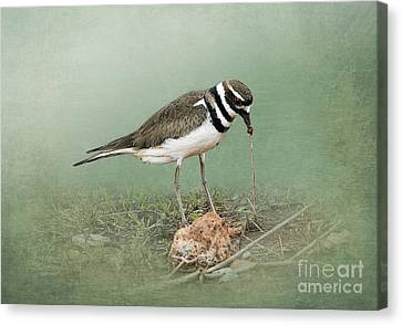 Killdeer And Worm Canvas Print by Betty LaRue
