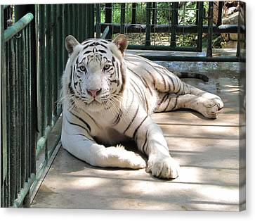 Kimar The White Tiger Canvas Print by Keith Stokes
