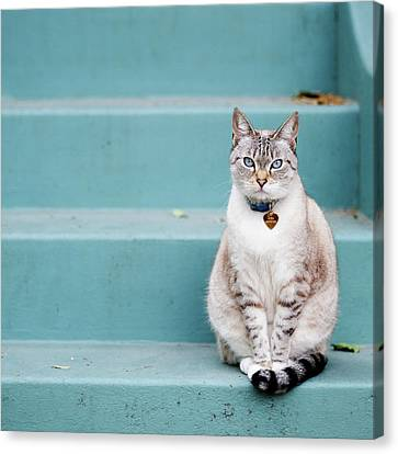 Kitty On Blue Steps Canvas Print by Lauren Rosenbaum
