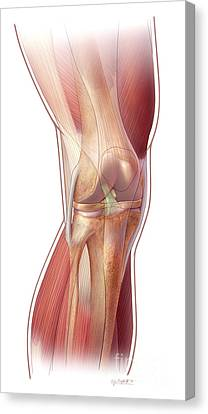 Knee Anatomy Canvas Print by John M Daugherty and Photo Researchers