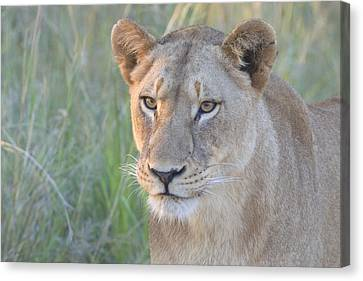 Kruger Lioness Canvas Print by Arno Meintjes Wildlife
