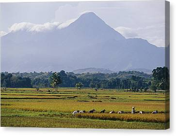 Laborers In A Rice Field Work Canvas Print by Steve Raymer