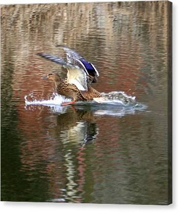 Landing Duck Canvas Print by Valia Bradshaw