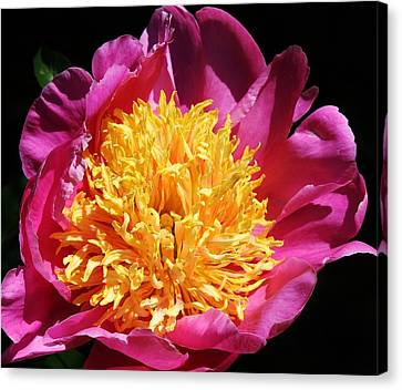 Large Pink Peony Canvas Print by Bruce Bley