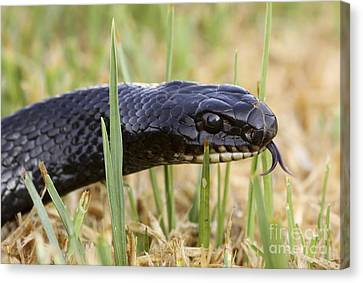 Large Whipsnake Coluber Jugularis Canvas Print by Alon Meir
