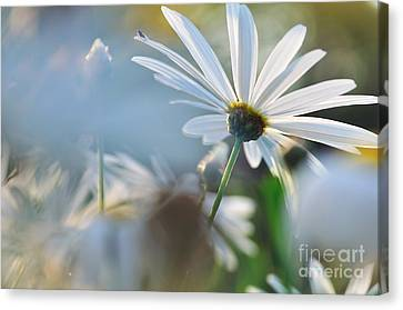 Late Sunshine On Daisies Canvas Print by Kaye Menner