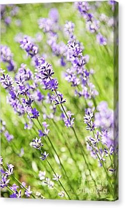 Lavender In Sunshine Canvas Print by Elena Elisseeva