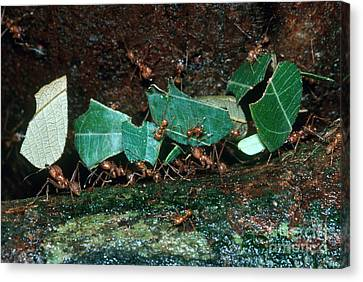 Leafcutter Ants Canvas Print by Gregory G. Dimijian