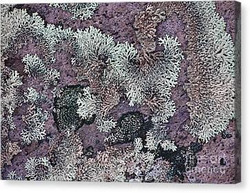 Lichen Pattern Series - 57 Canvas Print by Heiko Koehrer-Wagner