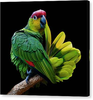 Lilacine Amazon Parrot Isolated On Black Backgro Canvas Print by Photo by Steve Wilson