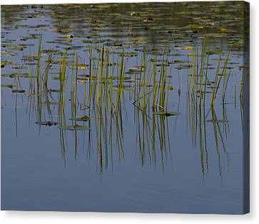 Lilly Pads Float On A River Canvas Print by Stacy Gold
